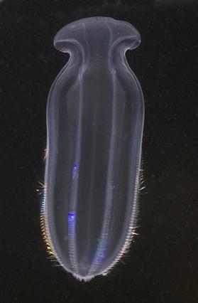 Beroe gracilis