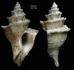 Babelomurex sentix (Bayer, 1971)Specimen from Irving seamount, 31°52.3'N, 28°03.6'W, 480 m, 'Seamount 2' DW218 (actual size 29 mm)