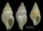 Amphissa acutecostata (Philippi, 1844)Specimens from Gorringe seamount, 36°27'N, 11°35'W, 500-545 m, 'Seamount 1' DE10(actual size 8.2 and 6.7 mm)