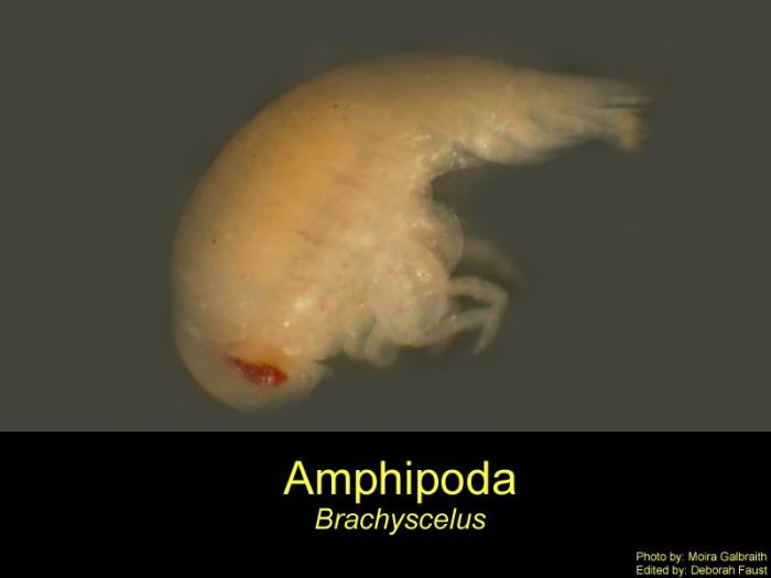 Brachycelus