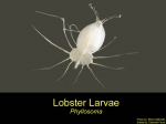 Phyllosoma (larval stage)