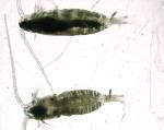 Calanus finmarchicus and Calanus hyperboreus, low mag, 2,25x