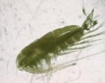 Calanus finmarchicus, female, 3,25x