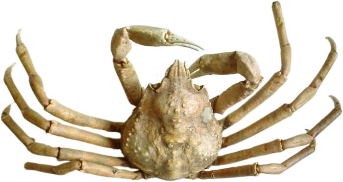 Hyas araneus - dried