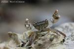 Penseelkrab (Hemigrapsus takanoi)