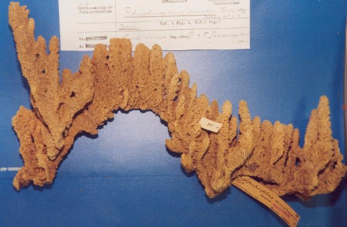 Rhaphidophlus seriatus, type specimen NHMB 16 (=Clathria (Thalysias) reinwardti)
