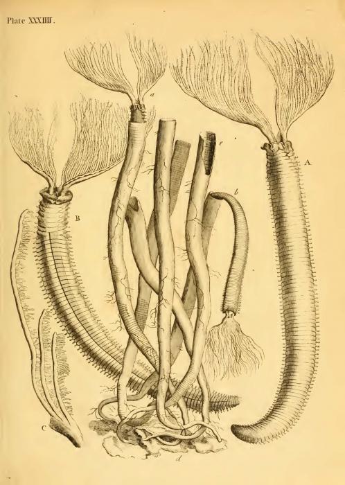 Corallina Tubularia Melitensis Ellis, 1755