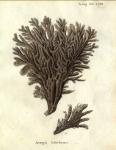 Spongia linteiformis Esper, 1797