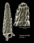 Trituba anelpistos (Bouchet & Fechter, 1981)Shell from Hyères seamount, 31°30.0'N - 28°59.5'W, 310 m, 'Seamount 2' DW188 (actual size 4.3 mm) Scale bar for protoconch 500 µm.