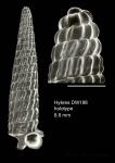 Trituba fallax Gofas, 2003Holotype (live-taken specimen) from Hyères seamount, 31°30.0'N - 28°59.5'W, 310 m, 'Seamount 2' DW188 (actual size 8.8 mm). Scale bar for protoconch 500 µm.