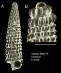 Trituba hirta Gofas, 2003Holotype (shell) from Atlantis seamount, 34°05.1'N - 30°13.6'W, 280 m, 'Seamount 2' DW274 (actual size 6.3 mm). Scale bar for protoconch 500 µm.