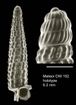 Trituba incredita Gofas, 2003Holotype (live-taken specimen) from Great Meteor seamount, 30°02.0'N - 28°22.1'W, 470 m, 'Seamount 2' DW152 (actual size 6.2 mm). Scale bar for protoconch 500 µm