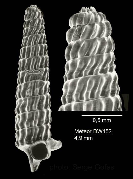 Trituba superstes (Bouchet & Fechter, 1981)Specimen from Great Meteor seamount, 30°02.0'N - 28°22.1'W, 470 m, 'Seamount 2' DW152 (actual size 4.9 mm). Scale bar for protoconch 500 µm.