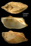 Arca tetragona Poli, 1795Specimen from Fuengirola, S. Spain (actual size 17.3 mm)