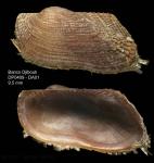 Asperarca nodulosa (Müller, 1776)Specimen from Djibouti banks, Alboran Sea (actual size 9.5 mm)