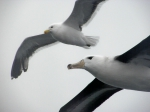 Young Black-browed Albatross and Kelp Gull, South Atlantic Ocean