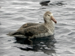 Northern Giant Petrel waiting refuse
