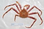 Lithodes maja - northern stone crab