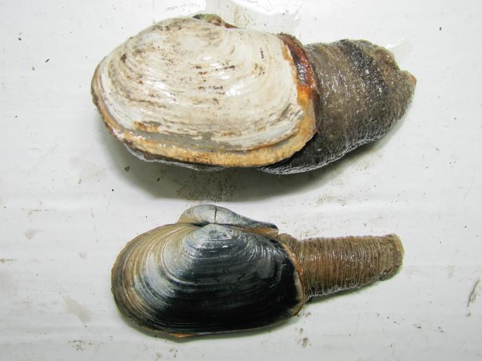 Panomya norvegica (above) and Mya truncata (below)