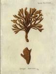 Original Plate of Esper's (1794) Spongia damicornis