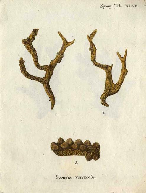 Original Plate of Esper's (1794) Spongia verrucosa