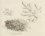 Ellis & Solander's (1786) image of Spongia botryoides