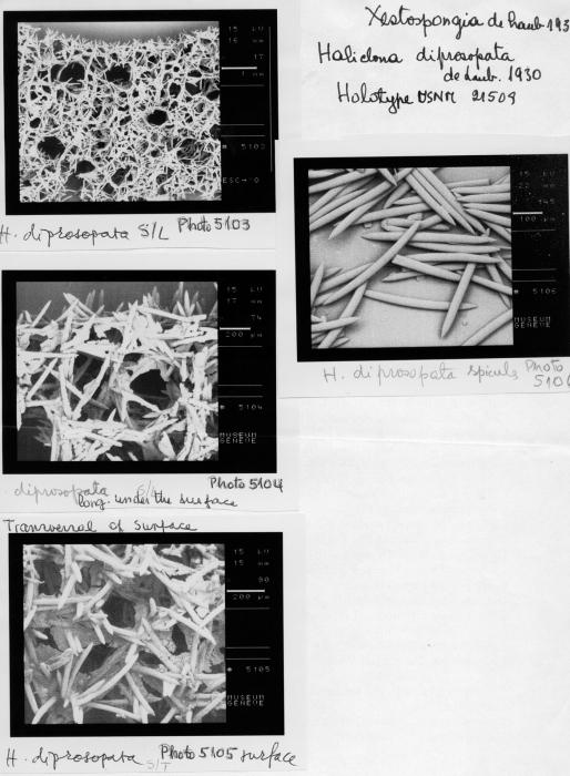 Haliclona diprosopia, spicules and skeleton of holotype