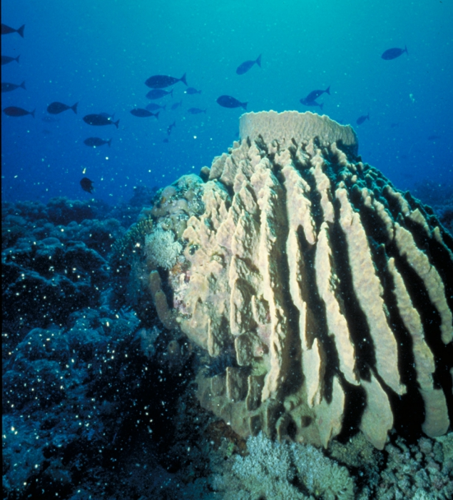 Xestospongia testudinaria in situ, Banda Sea, Indonesia