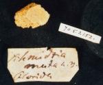 Schmidtia muta, BMNH fragment of type