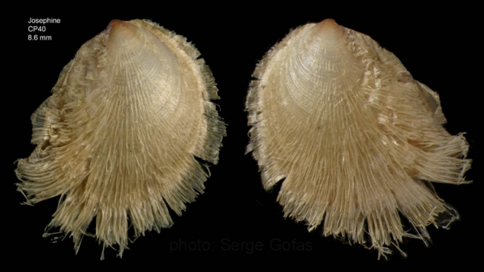 Limopsis angusta Jeffreys, 1879Specimen from Josephine seamount,, 36°39'N, 14°16'W , 215-221 , 'Seamount 1' CP40 (actual size 8.6 mm with hairs)
