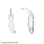 Echiura (spoon worms)