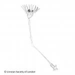 Entoprocta (goblet worms)