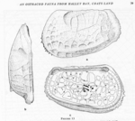 Cytheroidea from