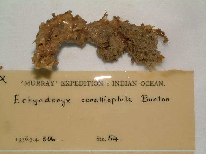 Ectyodoryx coralliophila