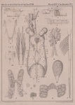 Van Beneden (1861, pl. 01)