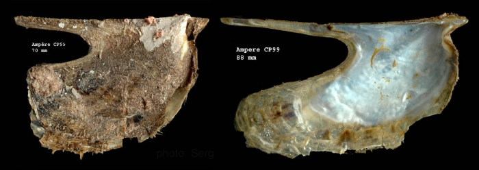 Pteria hirundo (Linnaeus, 1758)Specimen from Ampère seamount, 35°04'N, 12°55'W, 225-280 m, 'Seamount 1' sta. CP99 (actual size 88 mm)
