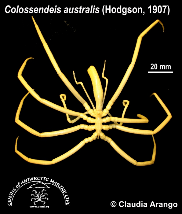 Colossendeis australis