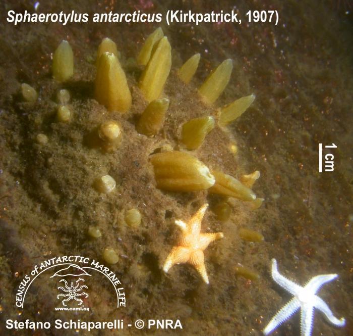 Sphaerotylus antarcticus 2