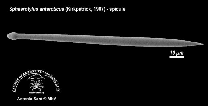 Sphaerotylus antarcticus (spicule) 2