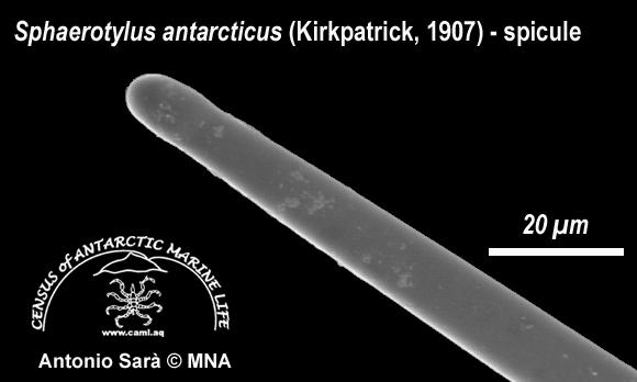Sphaerotylus antarcticus (spicule) 5