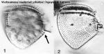 Phalacroma mitra