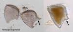 Phalacroma rapa