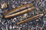 Shells American jack knife clam