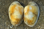 pullet carpet shell