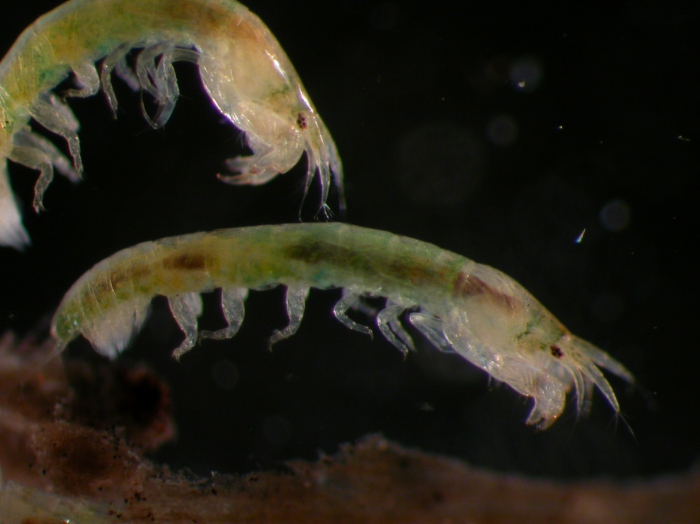 Leptochelia sp.