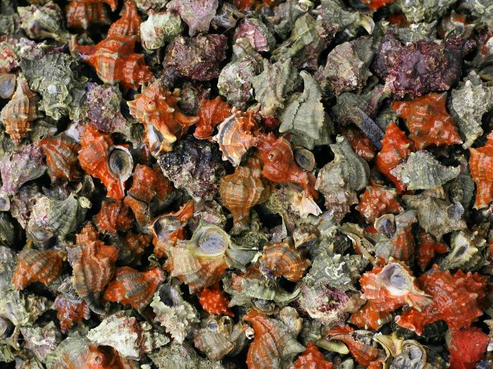 Hexaplex trunculus Linnaeus, 1758