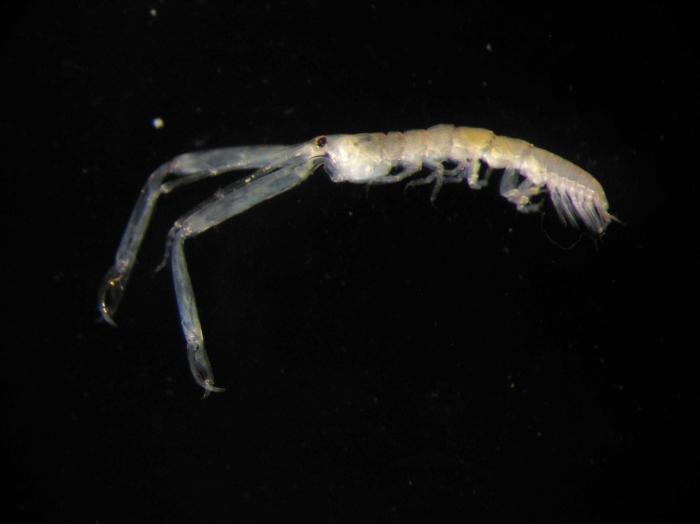 Leptochelia sp., male