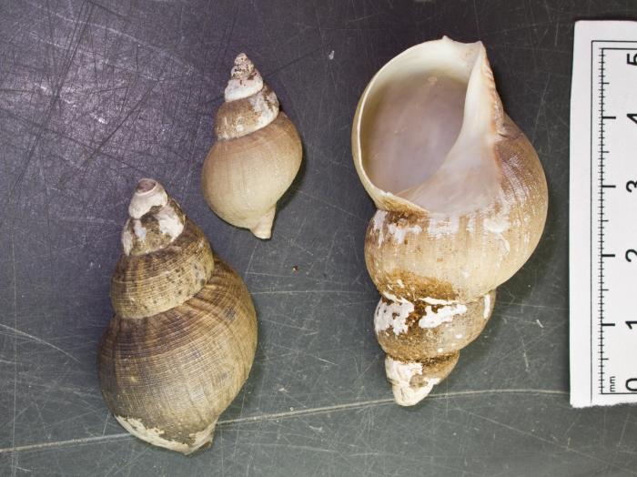 Buccinum cyaneum - 3