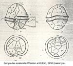 Gonyaulax acatenella Whedon et Kofoid, 1936 (basionym)