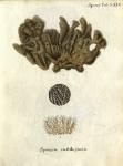 Spongia cartilaginea Esper, 1797